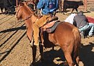 Pony of the Americas Mare for Sale in Eureka, Kansas