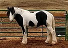 Gypsy Vanner Stallion for Sale in Westminster, Colorado