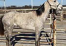 Thoroughbred Mare for Sale in Cedar Hill, Texas
