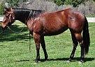 Quarter Horse Mare for Sale in Quincy, California
