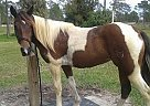 Paint Mare for Sale in N. Fort Myers, Florida