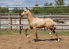 Akhal Teke Mare for Sale in Dubna, Russia
