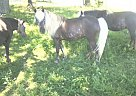 Miniature Mare for Sale in Cassville, Missouri