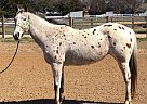 Appaloosa Mare for Sale in Fayettevile, Arkansas