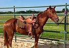 Hackney Gelding for Sale in Youngstown, Ohio
