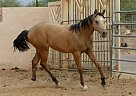 - Gelding in Cave Creek, AZ