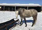 Colt - Gelding in Conception Junction, MO