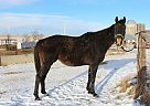 Thoroughbred Gelding for Sale in New Salem, North Dakota