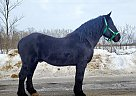 Percheron Stud - Stallion in Bemidji, MN