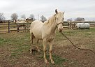 Quarter Horse  for Sale in Lewisburg, Kentucky