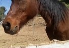 Arabian Gelding for Sale in Sunland, California