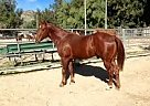 - Gelding in Chatsworth, CA