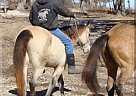 Quarter Horse Stallion for Sale in Mansfield, Missouri