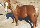 Miniature Stallion for Sale in Prague, Oklahoma