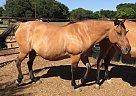 Quarter Horse Mare for Sale in hawley, Texas