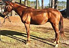 Appraiser - Gelding in Virginia Beach, VA