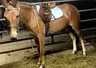 Mule Gelding for Sale in Townville, Pennsylvania