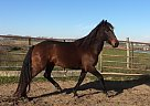 Lusitano Mare for Sale in Austin, Texas