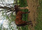 Quarter Horse Mare for Sale in Grass Lake, Michigan
