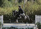 Dutch Warmblood Stallion