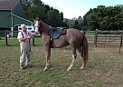 Tennessee Walking Mare for Sale in Spring Mills, Pennsylvania