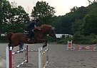 Prinz - Gelding in Franklin, NJ