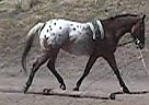 Appaloosa Stallion for Sale in Emmett, Idaho