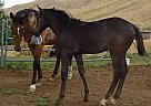 Appendix Stallion for Sale in Emmett, Idaho