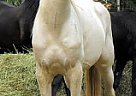 Andalusian Stallion for Sale in Charlottte, North Carolina
