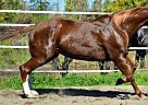 Paint Mare for Sale in Piermont, New Hampshire