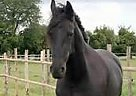 Friesian Mare for Sale in Naples, Florida
