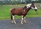 - Gelding in Piermont, NH