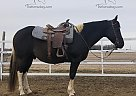 Dakota - Gelding in Des Moines, IA