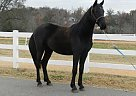 Friesian Mare for Sale in Greer, South Carolina