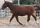 Bashkir Curly Stallion for Sale in Okotoks, Alberta
