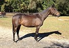 Thoroughbred Mare for Sale in Cortlandt, New York