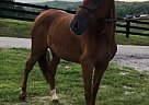 Eclipse - Gelding in Oneida, TN