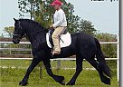 Friesian Stallion at Stud in Grand Prairie, Texas