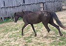 Tennessee Walking Mare