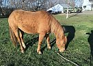 Haflinger Gelding for Sale in Crofton, Nebraska