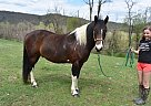 Bentley - Gelding in Duncannon, PA