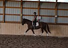 Dutch Warmblood Mare