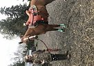 Quarter Horse Gelding for Sale in Lebanon, Oregon