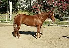 Quarter Horse Mare for Sale in Lake Forest, California