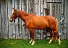 Monte Cristo - Gelding in Advance, NC
