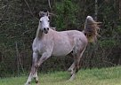 Arabian Stallion for Sale in Lanexa, Virginia