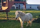 Pony pony - Stallion in Lincoln, AR