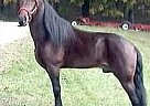 Tennessee Walking Stallion