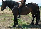 Fell Pony Mare for Sale in Snohomish, Washington