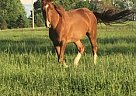 - Gelding in Marshfield, MO
